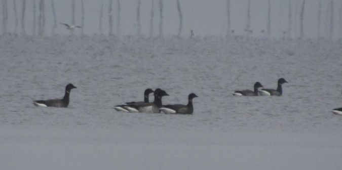 Pale-bellied Brant Goose  - Mathieu Taillade