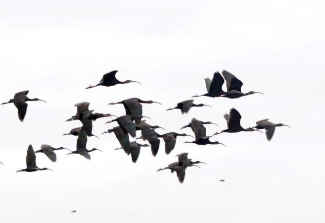 Zwarte ibis  - Alexandre Bert Guide Naturaliste Ot D'arès