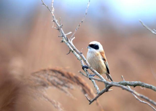 Eurasian Penduline Tit  - Alexandre Bert Guide Naturaliste Ot D'arès