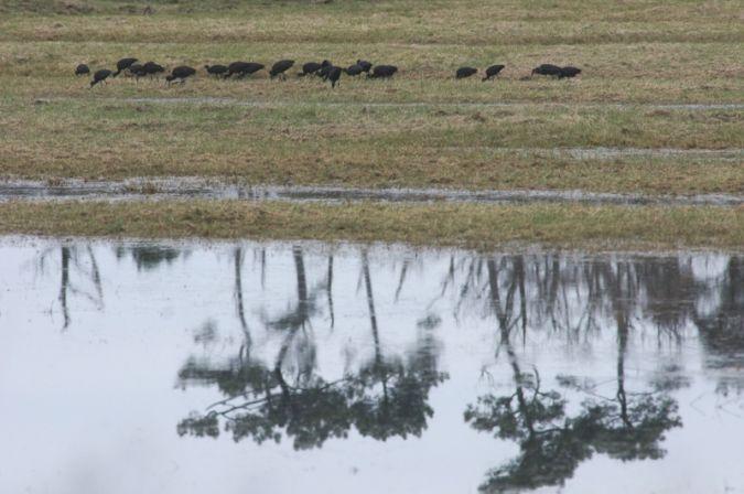 Glossy Ibis  - Département de La Gironde Espaces Naturels Sensibles