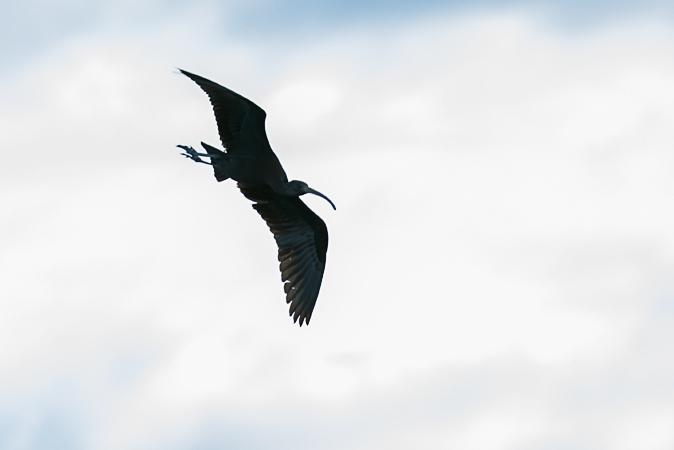 Glossy Ibis  - Alain Laborde