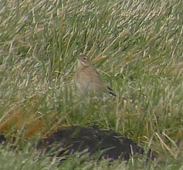 Pipit de Richard  - Alain Naves