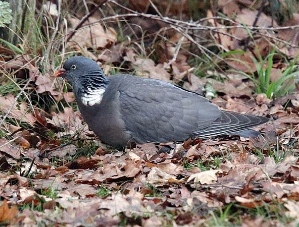 Pigeon ramier  - Andre Linda