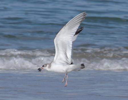 Sabine's Gull  - Isabelle Thiberville