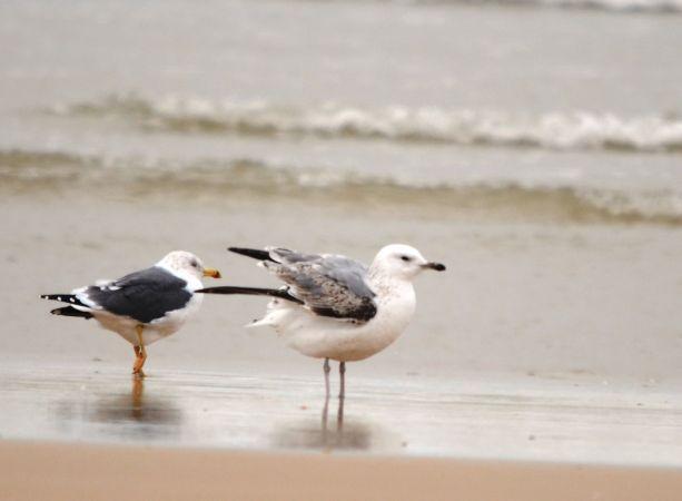 Caspian Gull  - Alexandre Bert Guide Naturaliste Ot D'arès