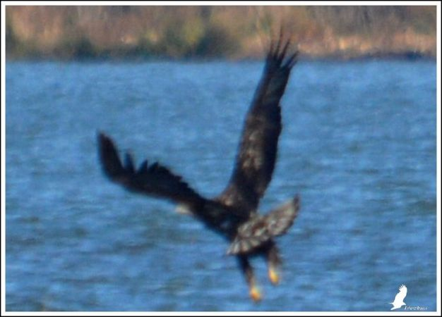White-tailed Eagle  - Serge Pontacq