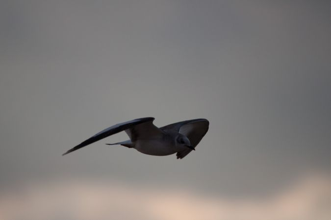 Sabine's Gull  - Anthony Godard