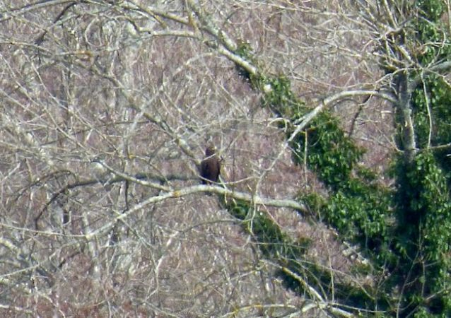 Greater Spotted Eagle  - Christine & Jean Claude Dublanc