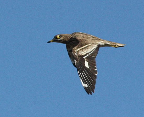 Eurasian Stone-curlew  - Alain Naves