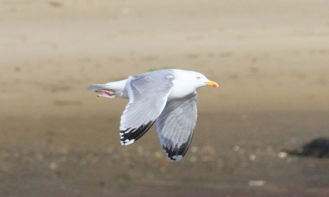 Herring Gull  - Bertrand Lamothe