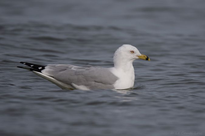 Ring-billed Gull  - Loïc Le Comte