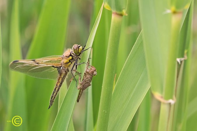 Four-spotted Chaser  - Alain Cochet