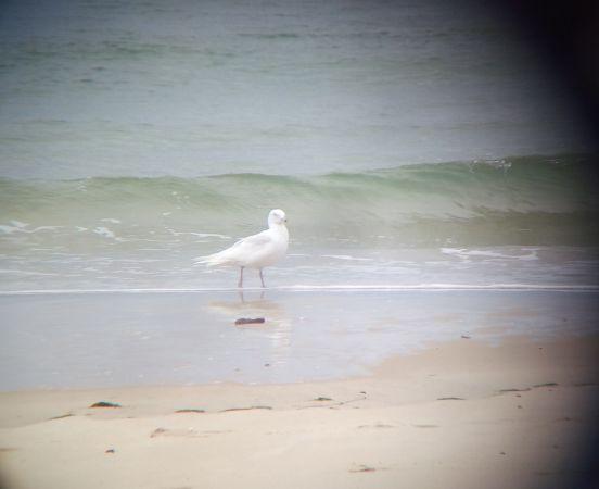 Goéland à ailes blanches  - Marine Chrapecki
