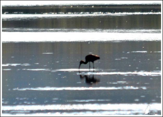 Ibis falcinelle  - Serge Pontacq