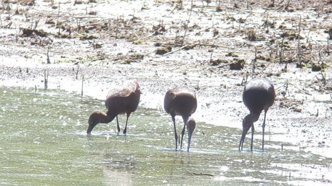 Ibis falcinelle  - Anonyme