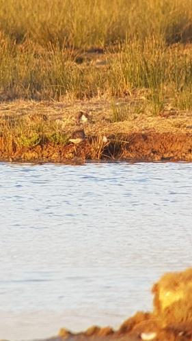 Bécasseau rousset  - Le Teich  Réserve Ornithologique-PNRLG