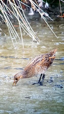 Marouette ponctuée  - Le Teich  Réserve Ornithologique-PNRLG