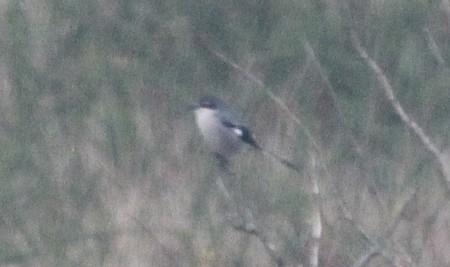 Southern Grey Shrike  - Jean Claude Vignes