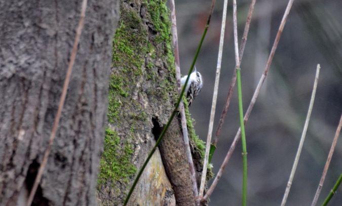 Waldbaumläufer  - Geoffroy Chabot