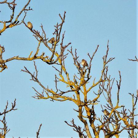Pinson des arbres  - Murielle Desrois