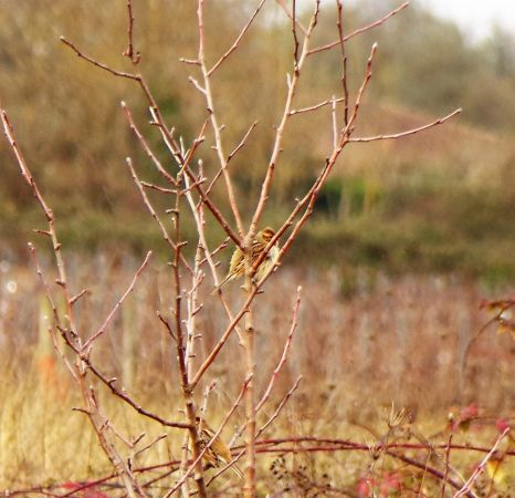 Common Reed Bunting  - Murielle Desrois