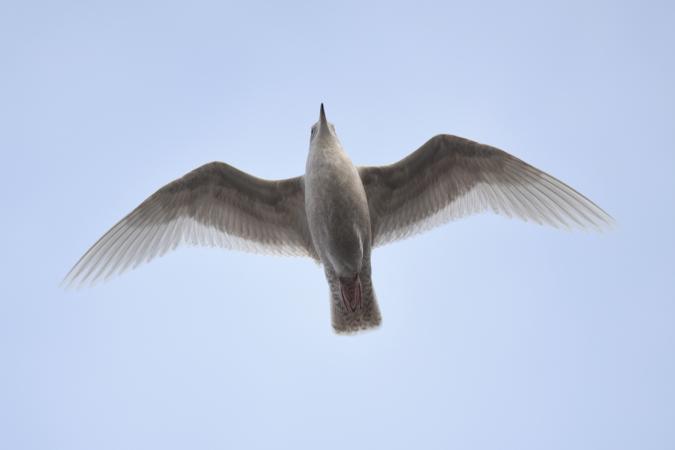 Iceland Gull  - Etienne Legay