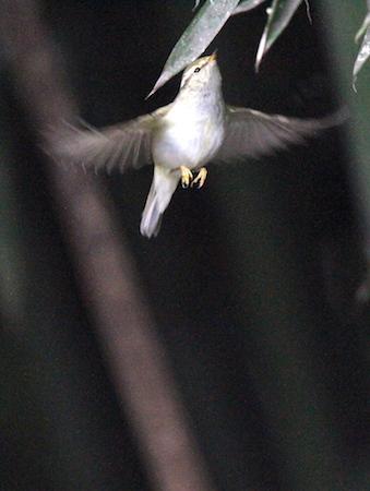 Yellow-browed Warbler  - Paul Manzano