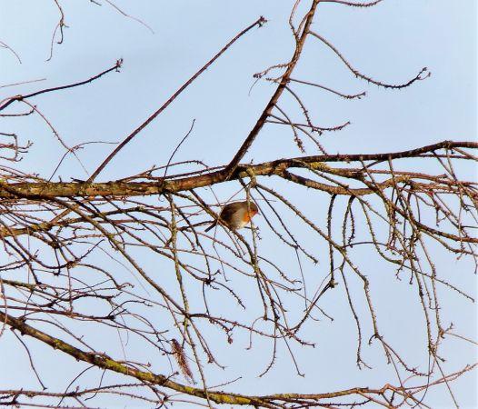 European Robin  - Murielle Desrois