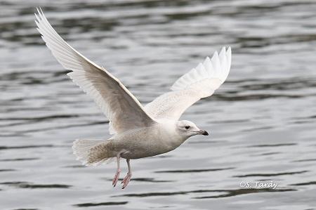 Goéland à ailes blanches  - Sylvain Tardy