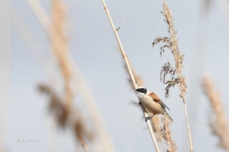 Pájaro Moscón  - Sylvain Tardy