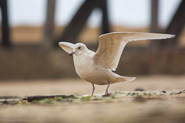 Goéland à ailes blanches  - Sébastien Pierre