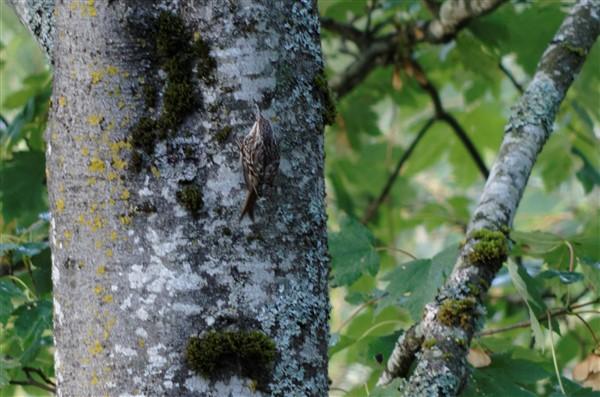 Grimpereau des jardins  - Sophie Fourel