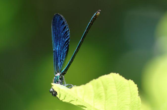 Caloptéryx vierge  - Sophie Fourel