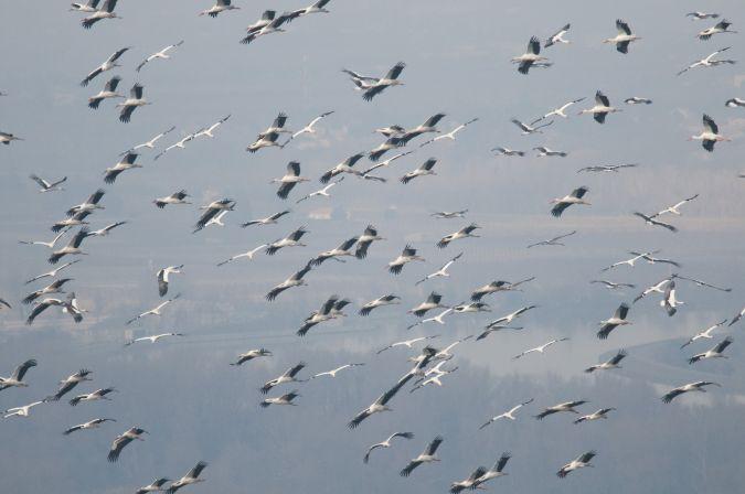 Cigogne blanche  - Vincent Perrin
