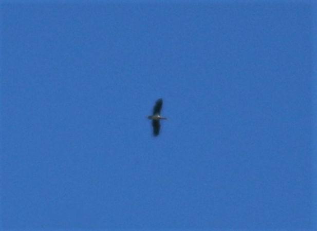 Cigogne noire  - Jean-Pierre Boulhol
