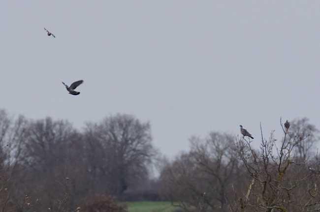 Pigeon ramier  - Didier Philippon