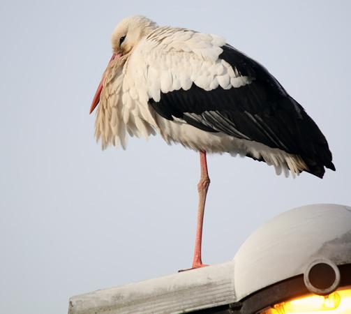 Cigogne blanche  - Francis Journeaux