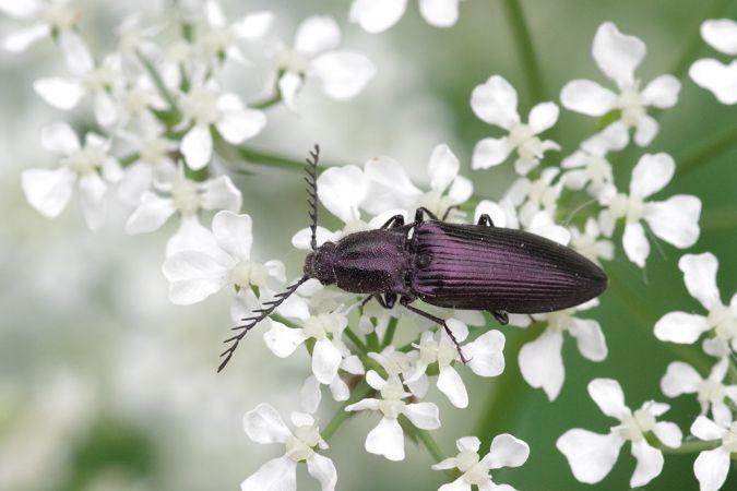 Ctenicera pectinicornis  - Didier Perrocheau