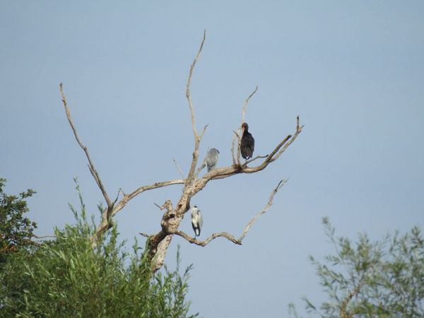 Cigogne noire  - Margot Deleule