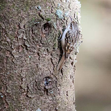 Grimpereau des bois  - Philippe Mezanger