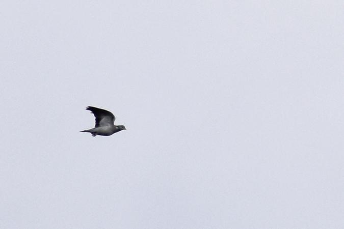 Pigeon colombin  - Thibaut Delsinne
