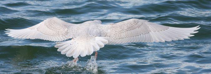 Goéland à ailes blanches  - Sébastien Mauvieux