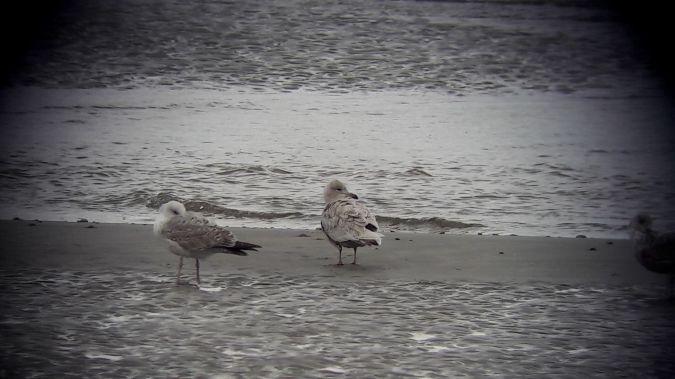 Goéland à ailes blanches  - Marc Dizerbo