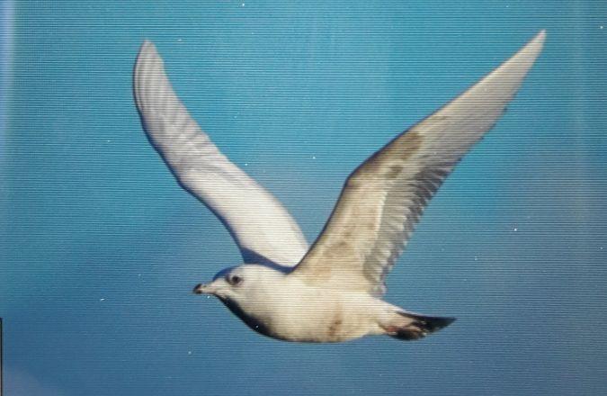 Goéland à ailes blanches  - Vincent Le Brun
