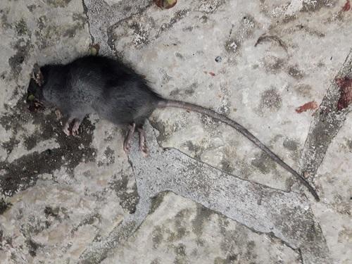Rat noir  - Jean Noël Ballot