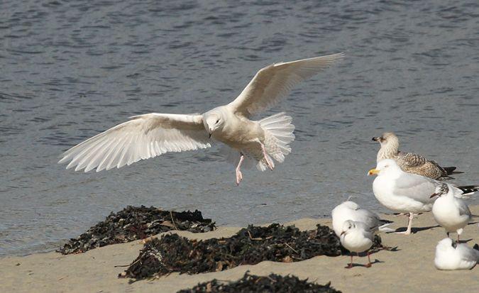 Goéland à ailes blanches  - Philippe J. Dubois