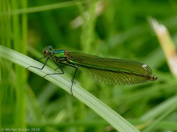 Caloptéryx éclatant  - Michel Terrien