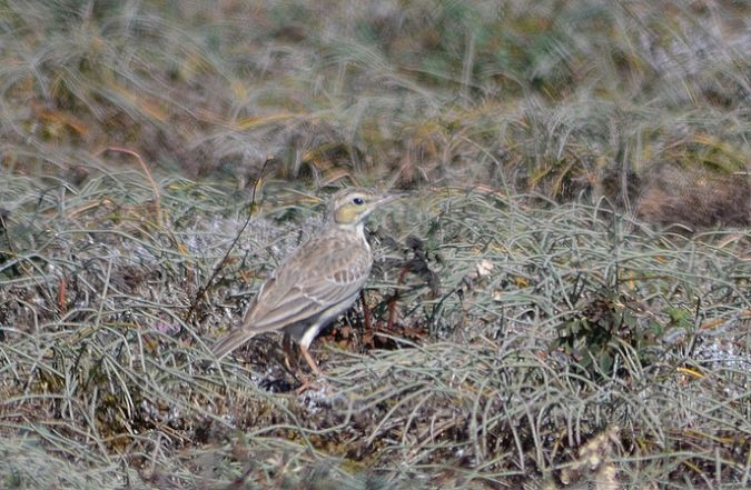Pipit rousseline  - Yves Blat