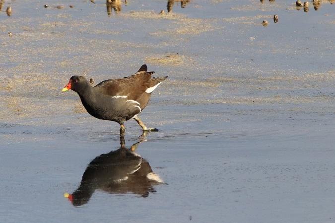Gallinule poule-d'eau  - Pierrick Girard