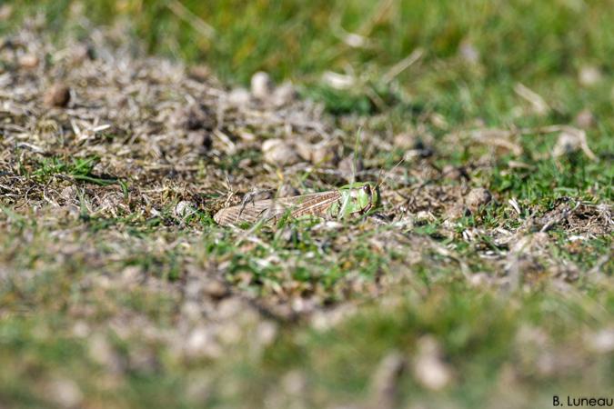 Criquet migrateur  - Benjamin Luneau